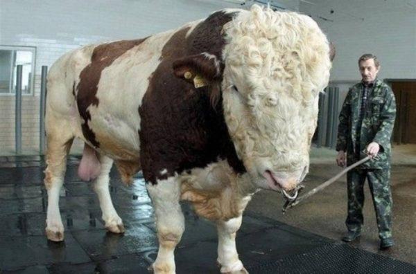 Украинский бык Репп