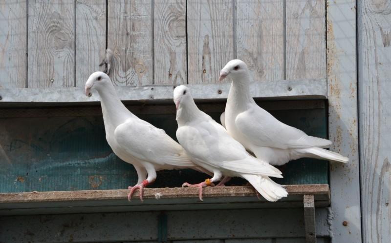 Русские почтовые голуби на жердочке