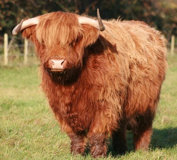 Шотландский бычок с густой шерстью