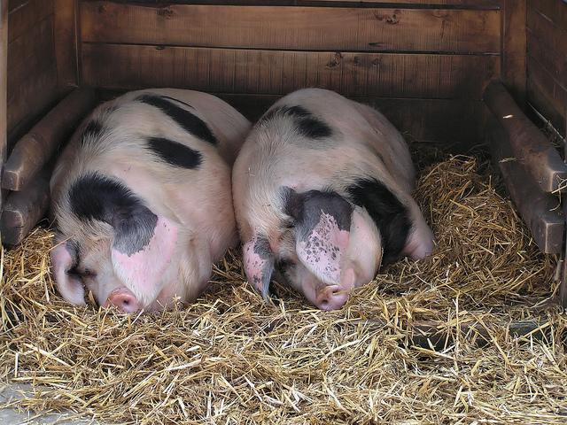 Спят две свиньи