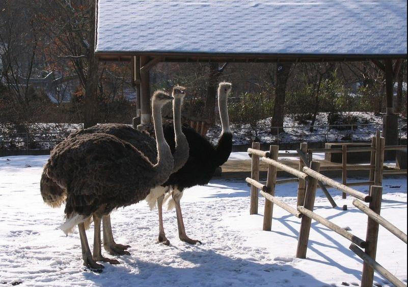 Два страуса в заснеженном загоне