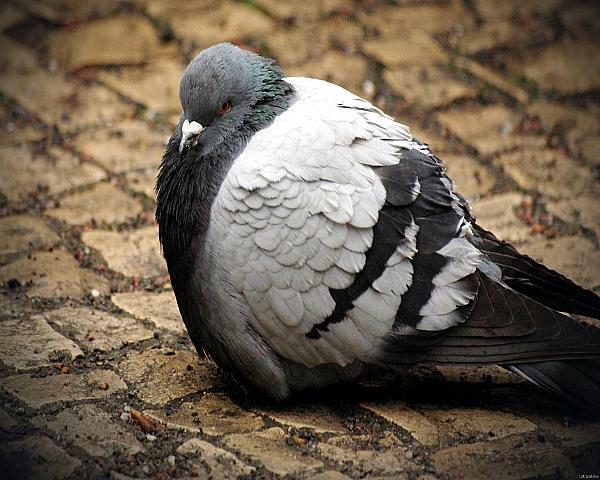 Нахохлившийся серый голубь