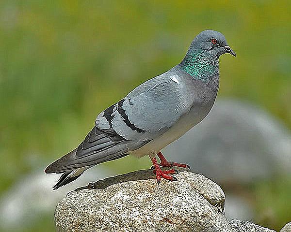 Скалистый голубь стоит на камне