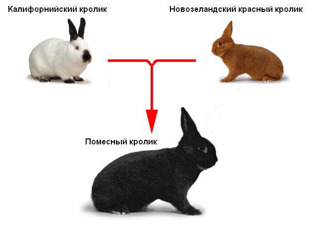 Скрещивание пород кроликов