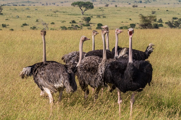 Стадо африканских страусов