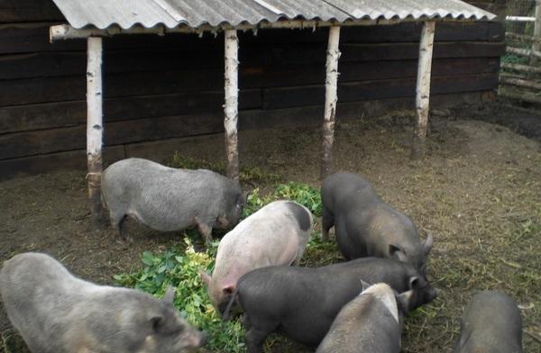 Стадо вислобрюхих свиней