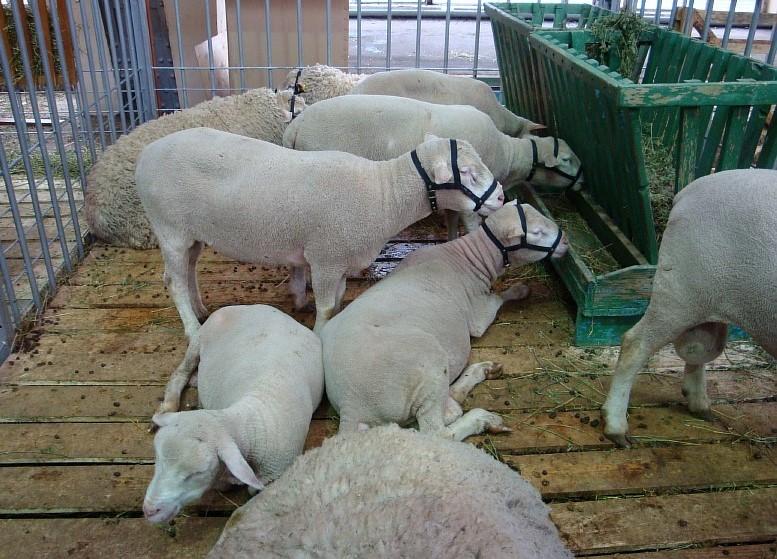 Стриженные овцы