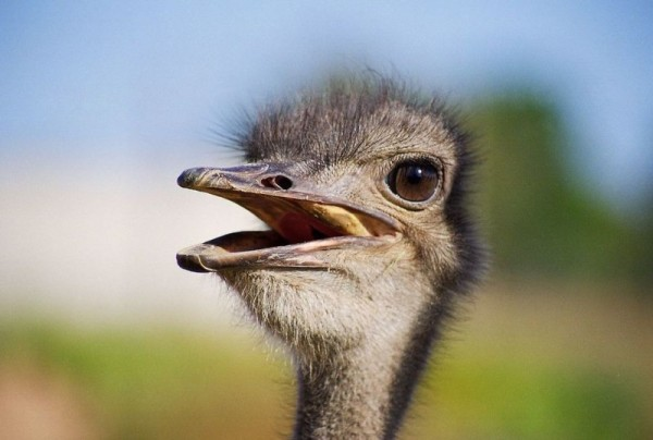 Голова страуса крупным планом