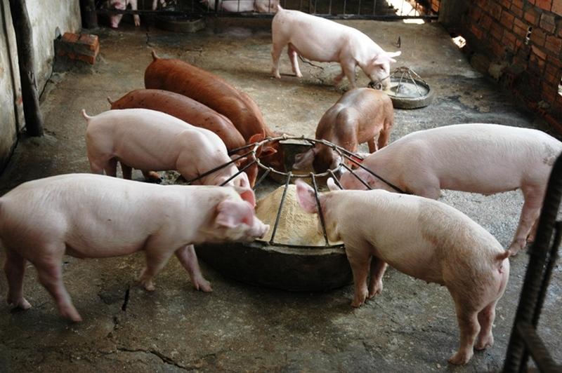 Свиньи в домашнем свинарнике