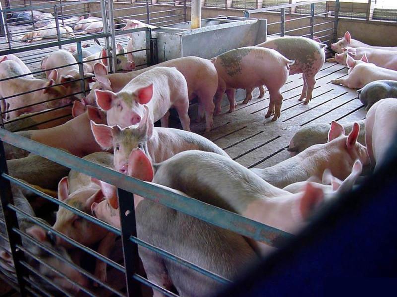 Свиньи в загоне с щелевым полом