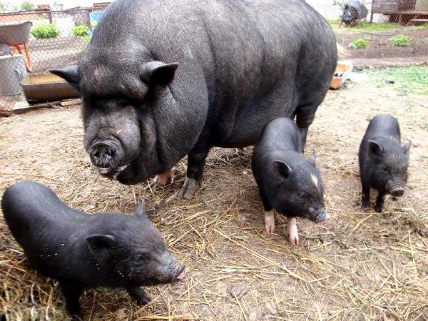 Свиноматка и поросята