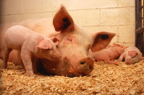 Свиноматка с детенышами