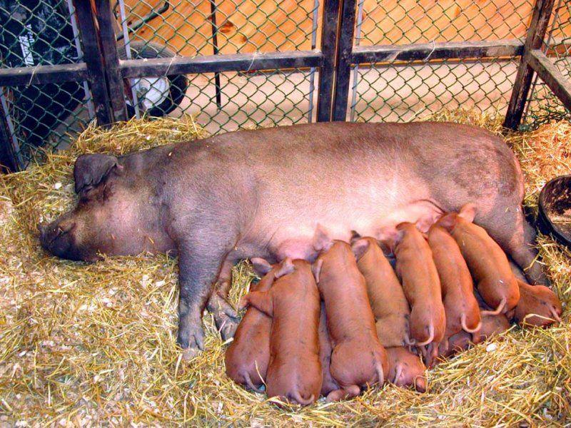 Свиноматка в отдельном загоне