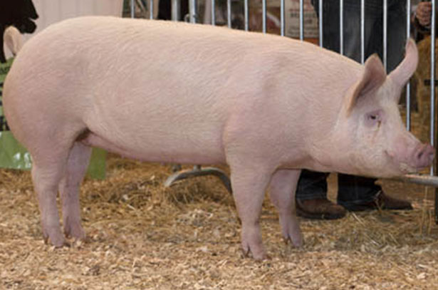 Русская белая порода свиней