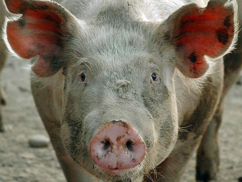 Свинья с чесоткой