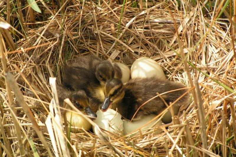 Утята лежат в гнезде с яйцами