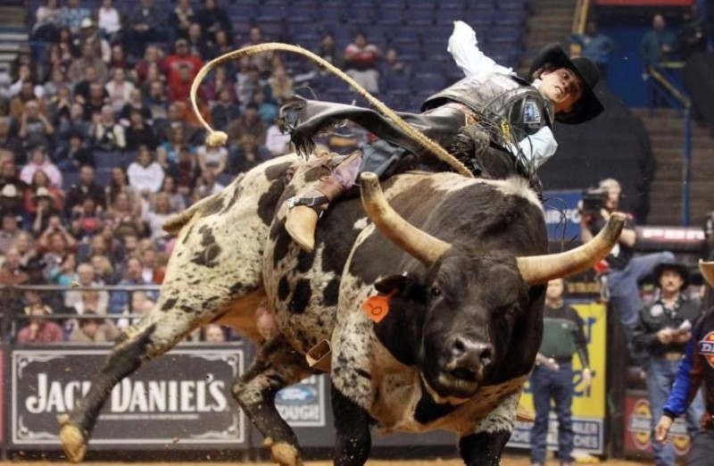 Родео с быками: выбор животных и подготовка, правила состязаний и видео