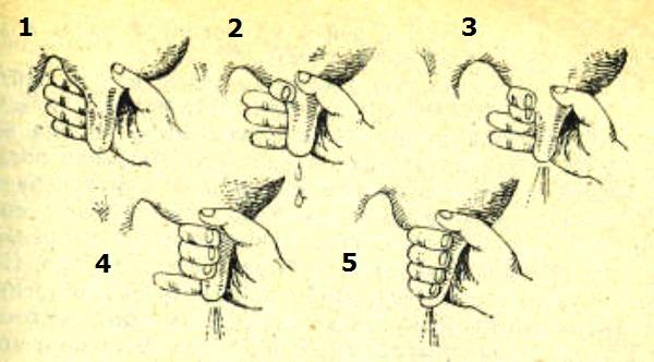 Техника доения кулаком
