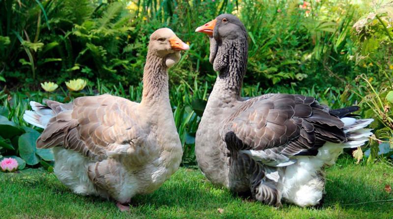 Кошельковые гуси разных окрасов на траве
