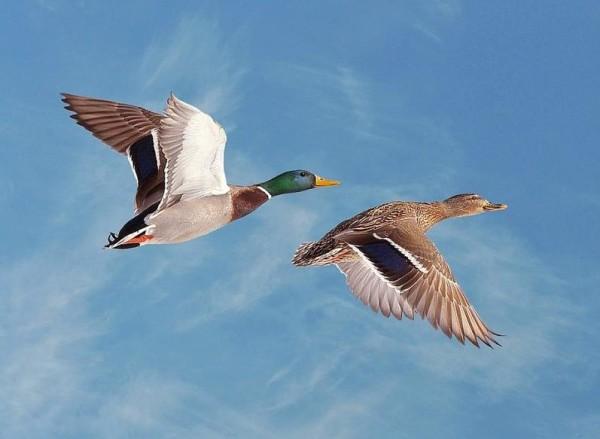Пара летящих уток