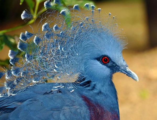 Венценосный голубь крупным планом