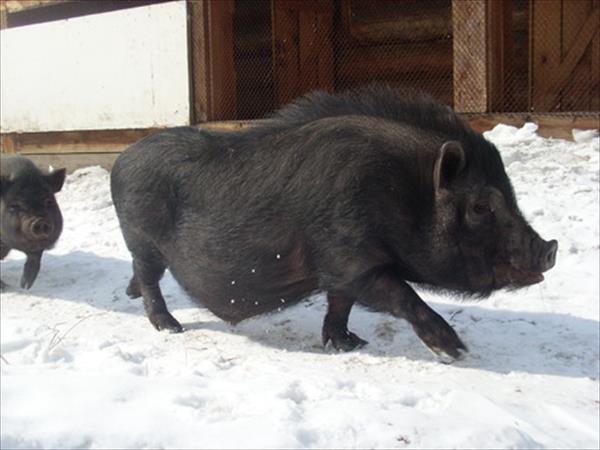 Вьетнамская свинья зимой