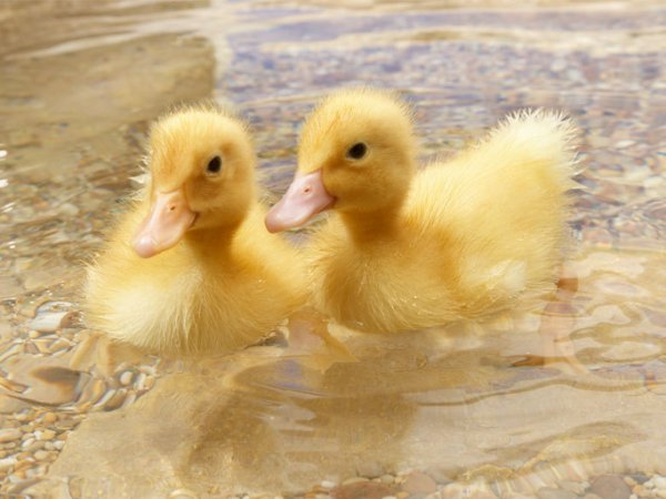 Милые утята плавают вместе