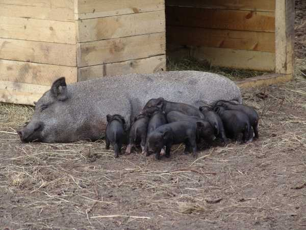 Вислобрюхая свинья после опороса