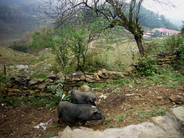 Вислобрюхие свиньи во Вьетнаме