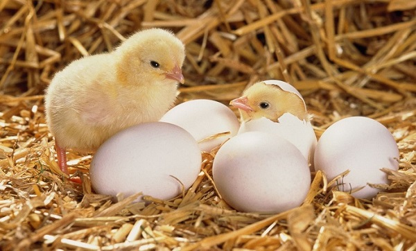 Вылупливание цыплят из яиц