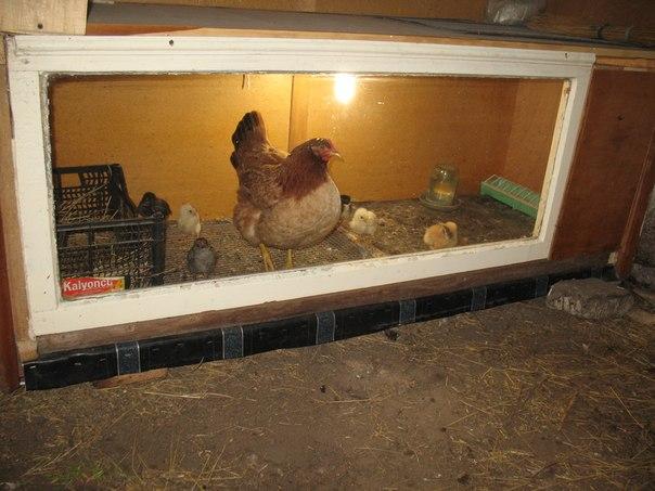 Курица с цыплятами в брудере