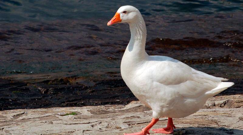 Белый итальянский гусь на берегу
