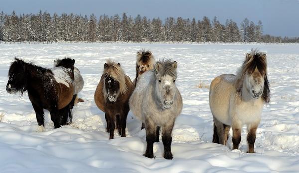 Северная якутская порода