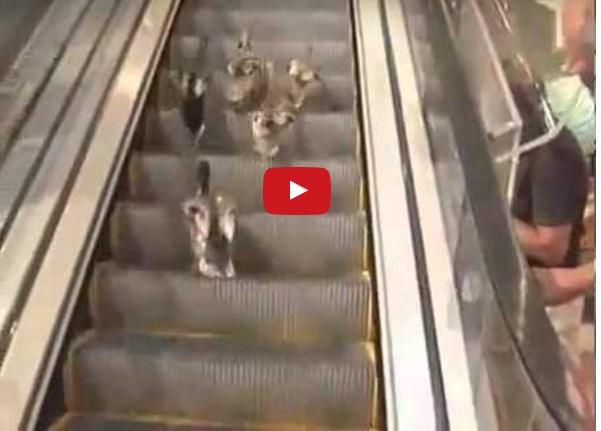 Утки на эскалаторе