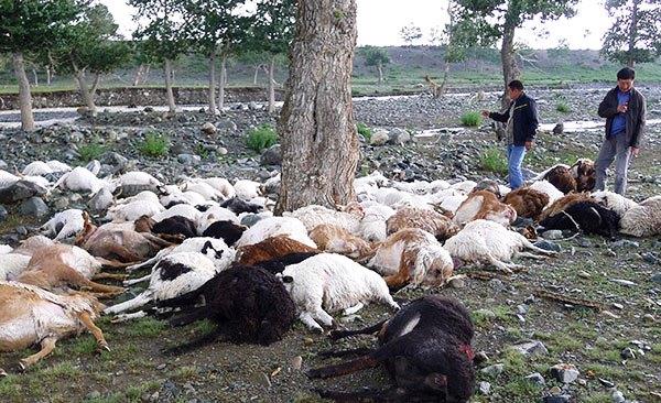 Животные, погибшие от энтеротоксимии