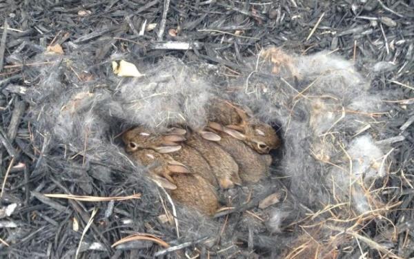 Зайчата в гнезде