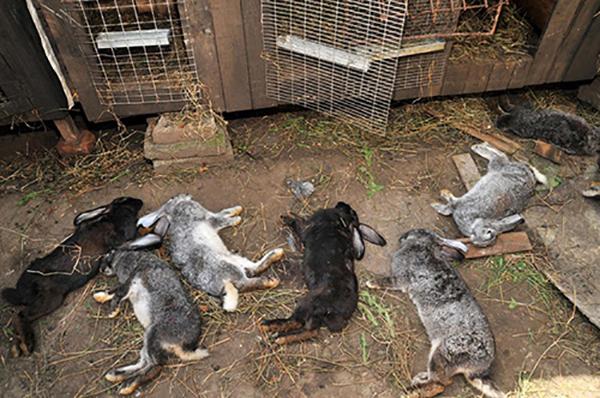 Погибшие кролики у клеток