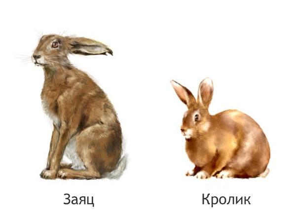 Заяц и кролик на белом фоне