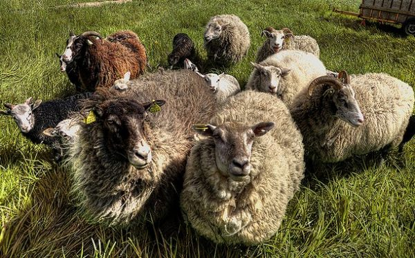 Выращивание овец в домашних условиях: овчарня для овец своими руками