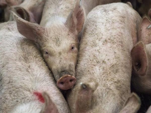 Несколько зараженных свиней