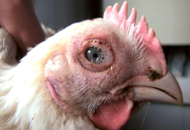 Так выглядит курица с воспаленными слизистыми оболочками