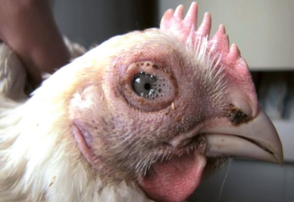 Так выглядят воспаленные глаза у курицы, заболевшей пастереллезом