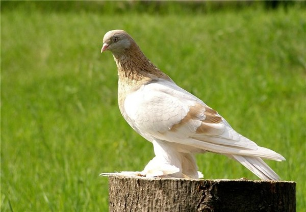 Голубь туркменской бойной разновидности сидит на пеньке
