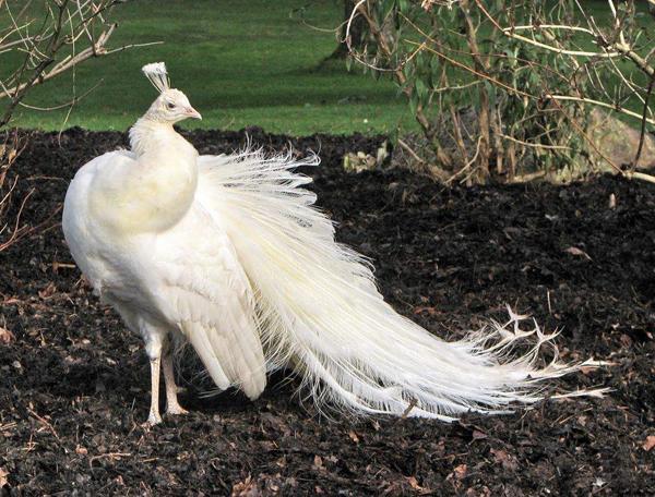 Павлин-альбинос в заповеднике