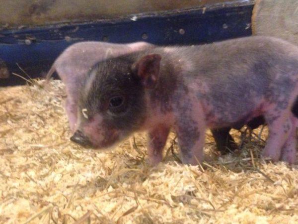 Новорожденный детеныш свиньи