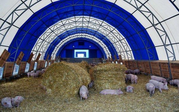 Свиньи в тентовом ангаре