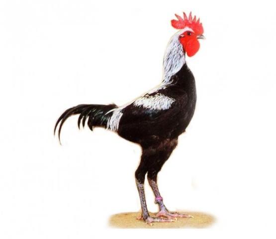 Английская бойцовая порода кур