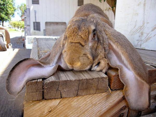 Английский кролик с длинными ушами