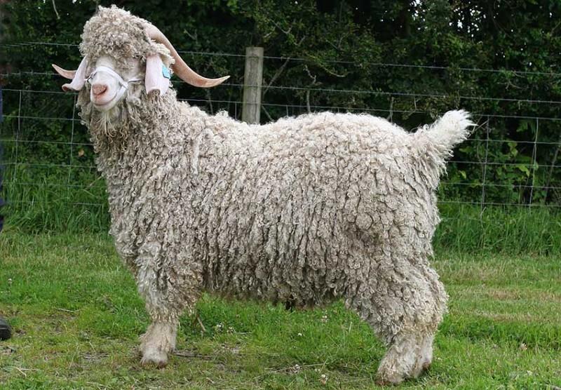 Ангорская коза