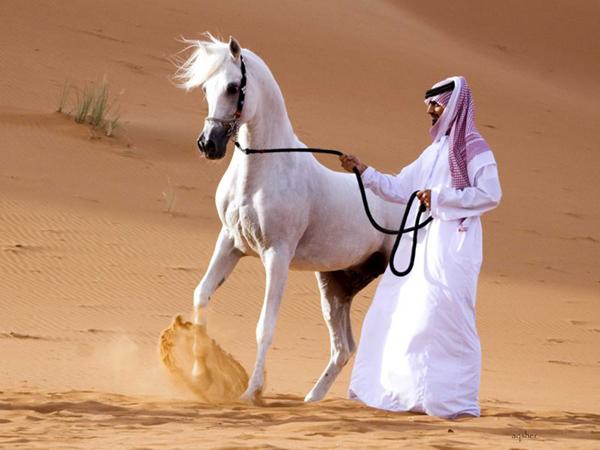 Арабский белый скакун в пустыне